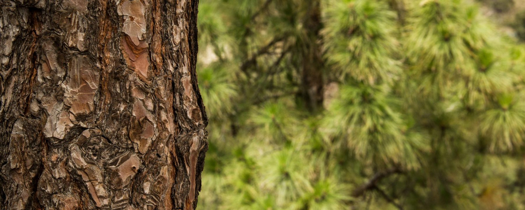 Close up of the bark of a pine tree